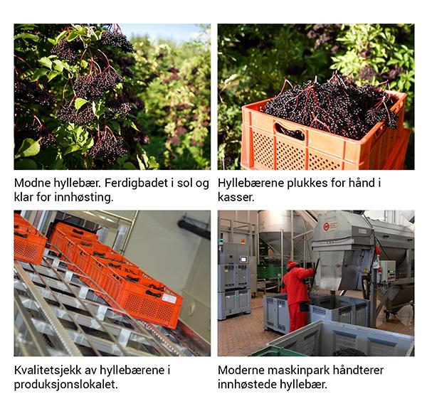 Innhøsting av hyllebær